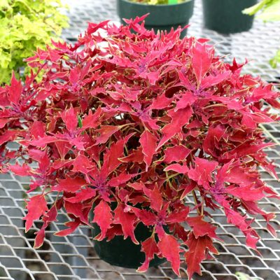 Coleus HIPSTERS™ 'Luca'