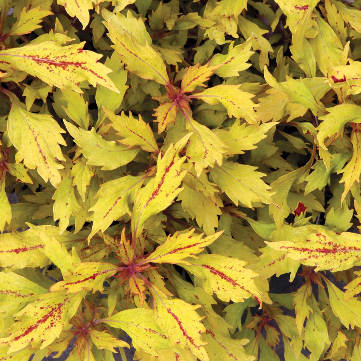 Coleus HIPSTERS™ 'Piper'
