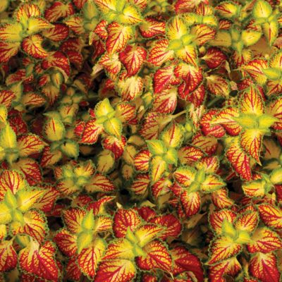 Coleus TERRA NOVA® 'Electric Slide'