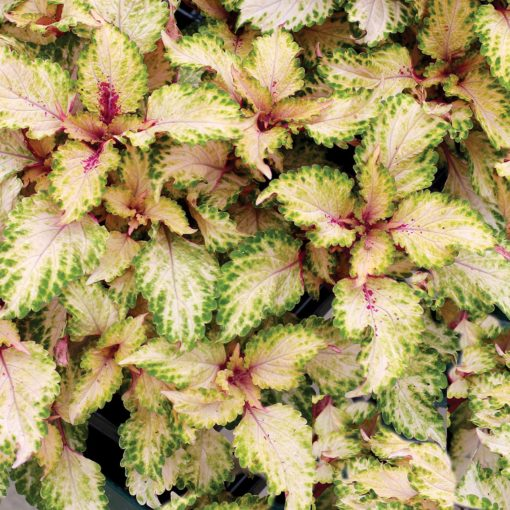 Coleus TERRA NOVA® 'Mystic Light'