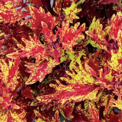 Coleus TERRA NOVA® 'Red Ripple'