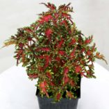 Coleus TERRA NOVA® 'Scarlet Ibis'