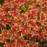 Coleus WILDFIRE™ 'Blaze'