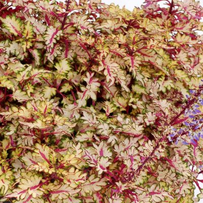 Coleus WILDFIRE™ 'Flash'