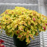 Coleus WILDFIRE™ 'Flicker'