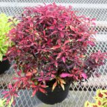 Coleus WILDFIRE™ 'Ignition'