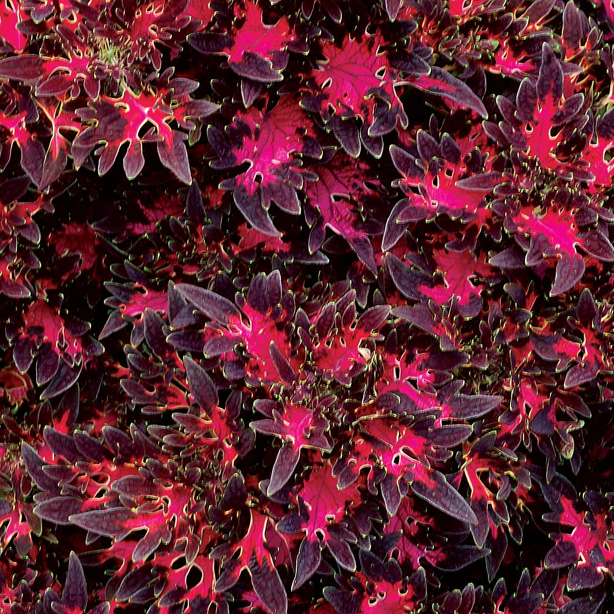 Coleus WILDFIRE™ 'Smoky Rose'