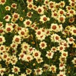 Coreopsis 'Autumn Blush'