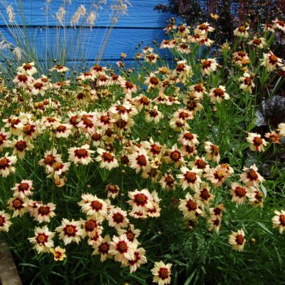 Coreopsis 'Autumn Blush'