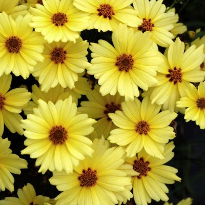 Coreopsis 'Buttercream'