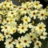 Coreopsis 'Buttermilk'