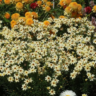 Coreopsis 'Buttermilk'