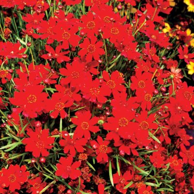 Coreopsis 'Cherry Pie'