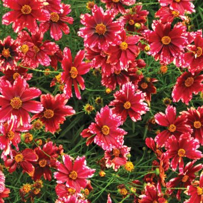 Coreopsis 'Cranberry Ice'