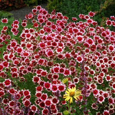 Coreopsis 'Fruit Punch'