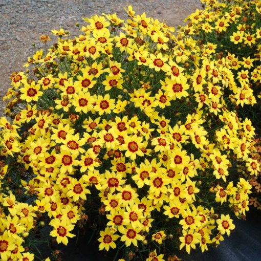 Coreopsis 'Gold Nugget'