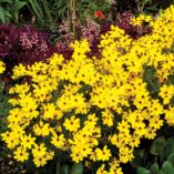Coreopsis 'Imperial Sun'
