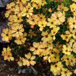 Coreopsis 'Lemon Punch'