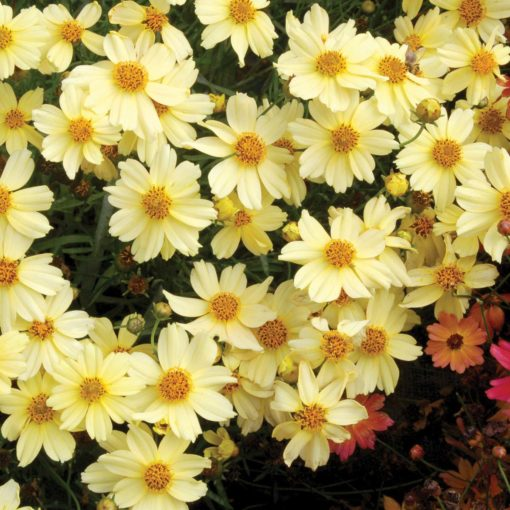 Coreopsis 'Moonlight'