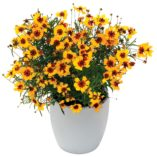Coreopsis 'Pineapple Pie'