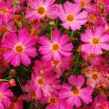 Coreopsis 'Pink Lady'