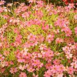 Coreopsis 'Pink Lemonade'