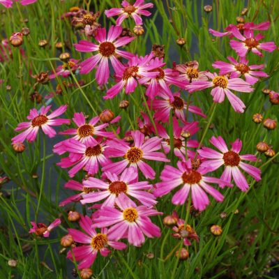 Coreopsis 'Pink Sapphire'