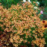 Coreopsis 'Pumpkin Pie'