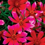 Coreopsis 'Show Stopper'