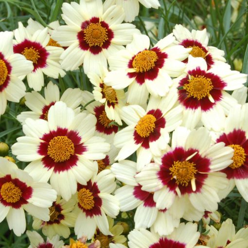 Coreopsis 'Snowberry'