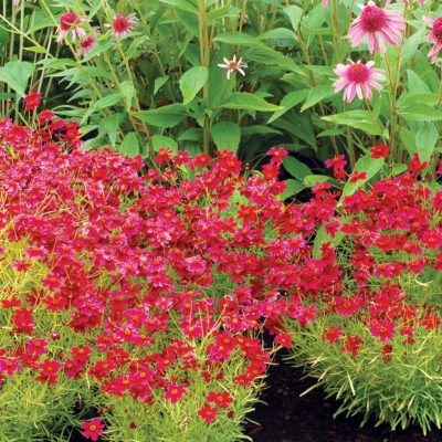 Coreopsis 'Strawberry Lemonade'