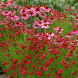 Coreopsis 'Strawberry Punch'