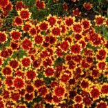 Coreopsis 'Summer Punch'