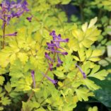 Corydalis 'Berry Exciting'
