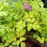 Corydalis 'Berry Exciting'