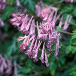 Corydalis 'Blackberry Wine'