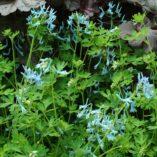 Corydalis 'Blue Panda'