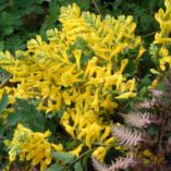 Corydalis 'Canary Feathers'