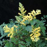 Corydalis 'Canary Feathers'