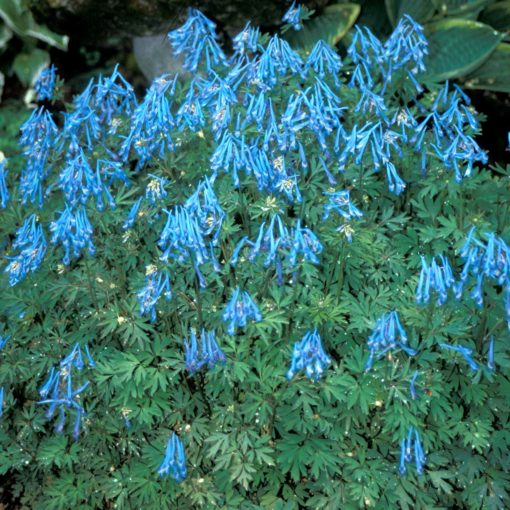 Corydalis 'China Blue'