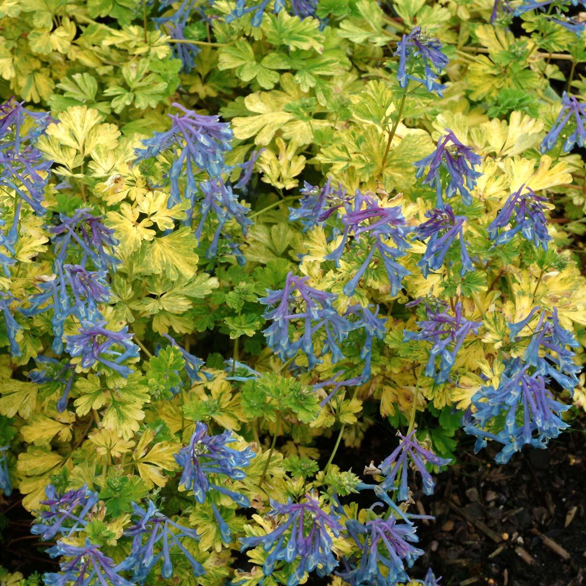 Corydalis 'Electric Blue'