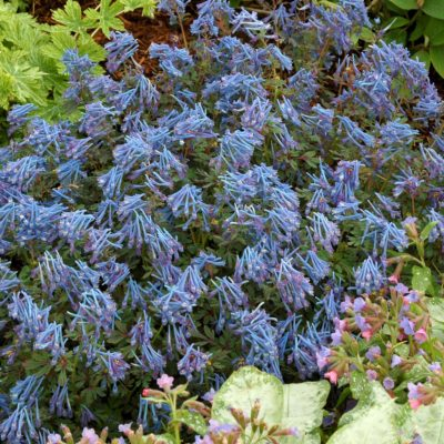 Corydalis 'Purple Leaf'