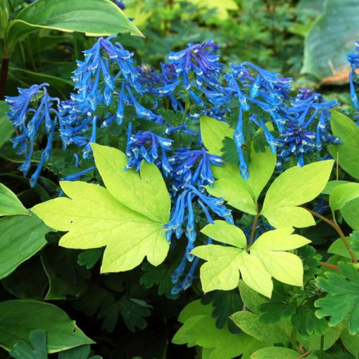 Corydalis elata | TERRA NOVA® Nurseries, Inc.