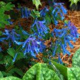 Corydalis elata