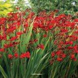 Crocosmia NOVA™ DRAGONFIRE