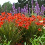 Crocosmia TWILIGHT FAIRY™ Crimson