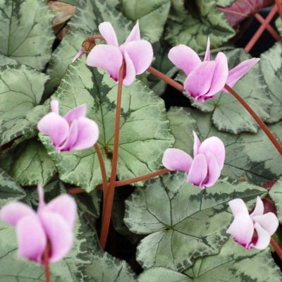 Cyclamen SWEETHEART™ 'Silver'