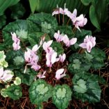 Cyclamen SWEETHEART™ 'Sparkle'
