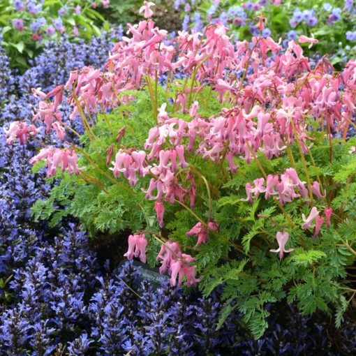 Dicentra 'Amore Pink'