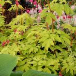 Dicentra 'Gold Heart'